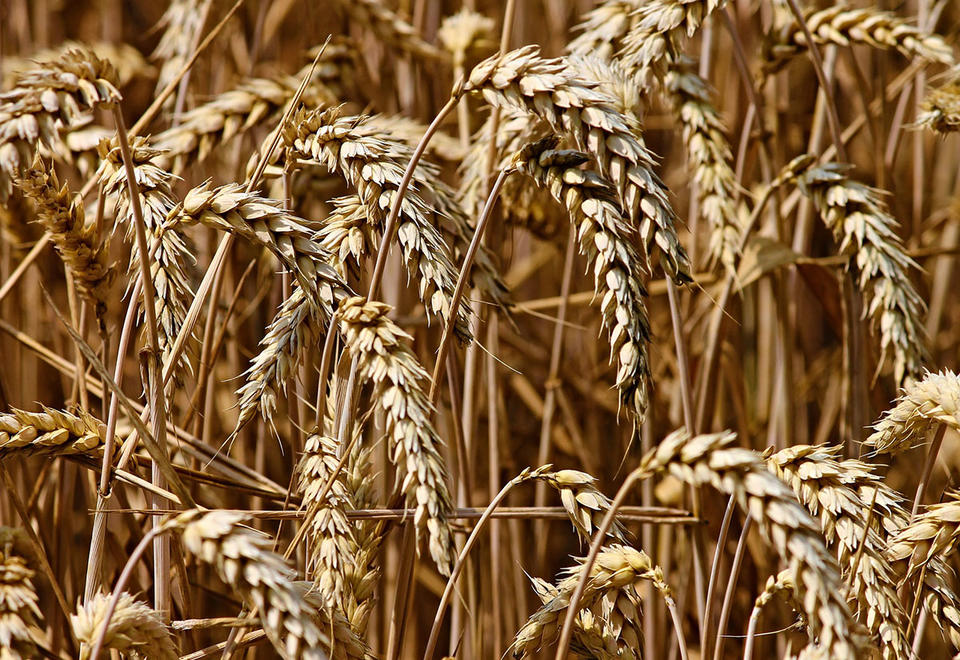 Iraq has bought more than 4 million tons of local wheat this season